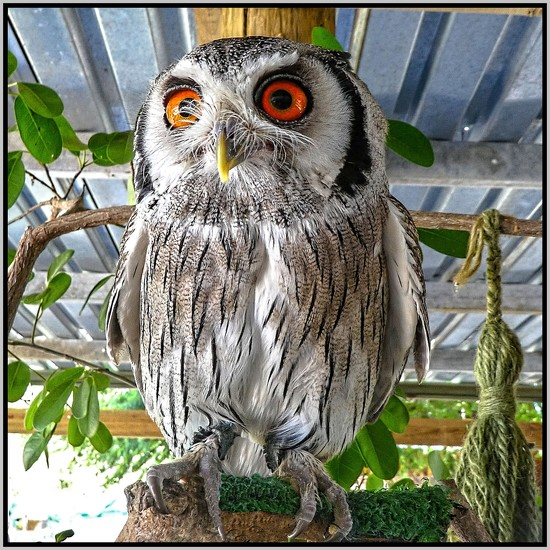 White faced Scops Owl..... by ludwigsdiana