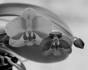 25th Feb 2018 - Orchid trio