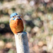 Kingfisher-with a wicked gleam in his eye!!!!