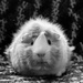 Piggy poser  by novab