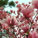 Tulip Magnolia in full bloom by homeschoolmom