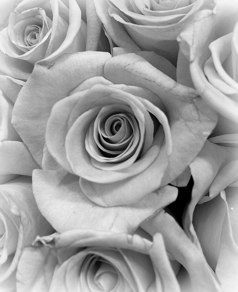 Black and White Rose by homeschoolmom