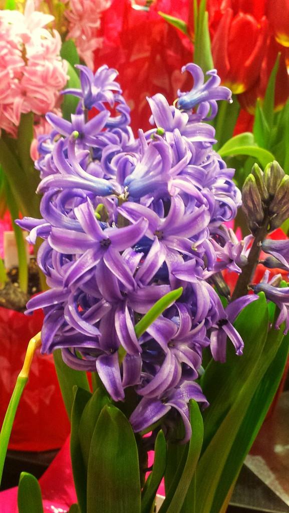 Purple Hyacinth by caitnessa