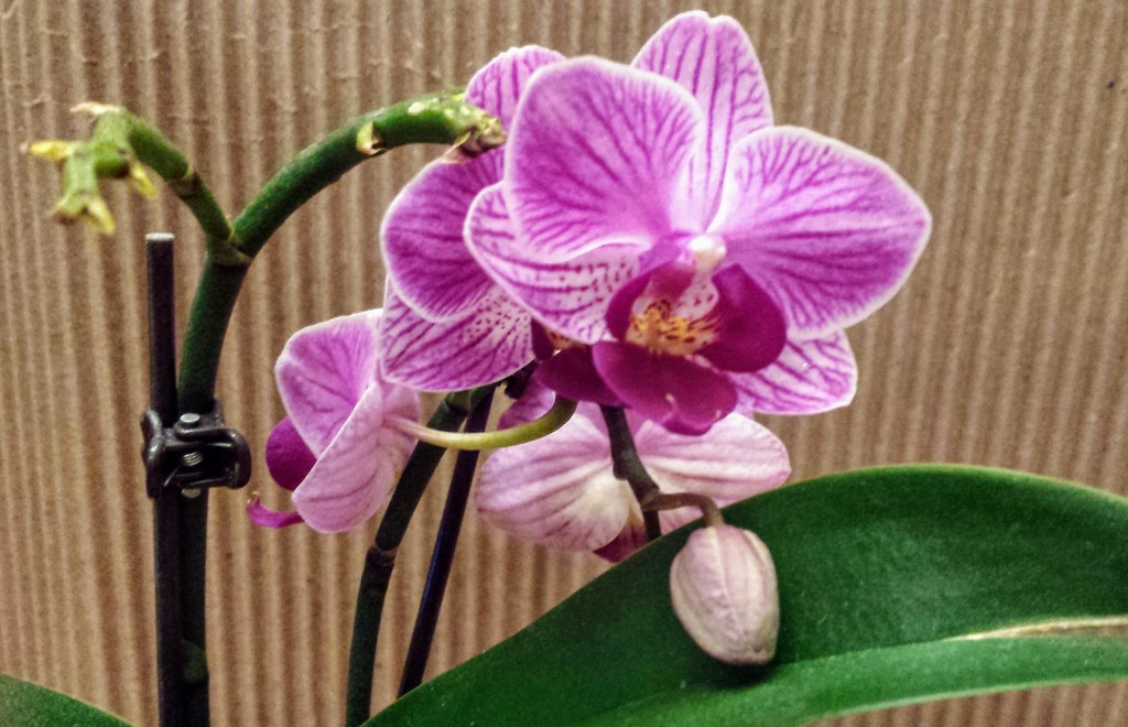 mini orchid  by caitnessa