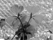 26th Feb 2018 - Geraniums on a sunny day in BW