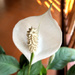 White Anthurium by veengupta