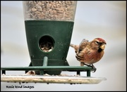 26th Feb 2018 - Mr Redpoll