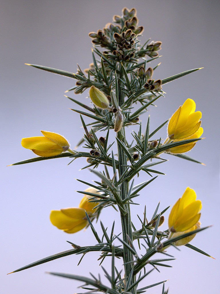 Blooming Gorse. by gamelee