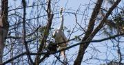26th Feb 2018 - Egret With a Twig!