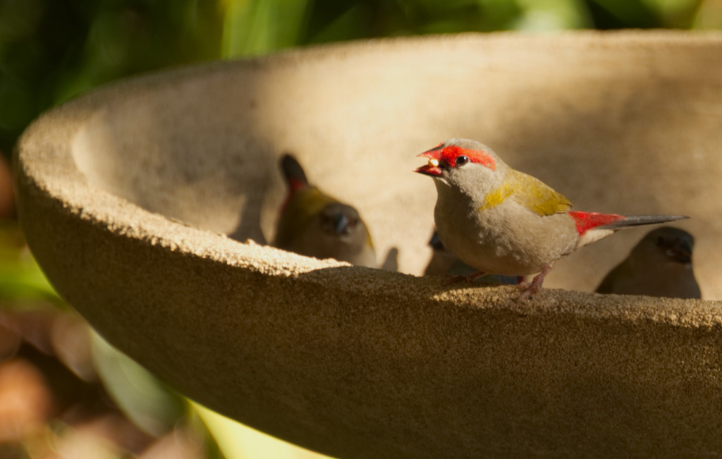Tiny finches eating seed by fr1da