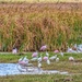 Egrets and Spoonbills by danette