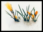 27th Feb 2018 - Spring flowers, winter weather