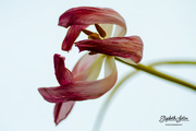 27th Feb 2018 - Withered tulip