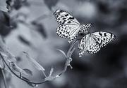 28th Feb 2018 - Butterflies