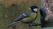 27th Feb 2018 - Great tit