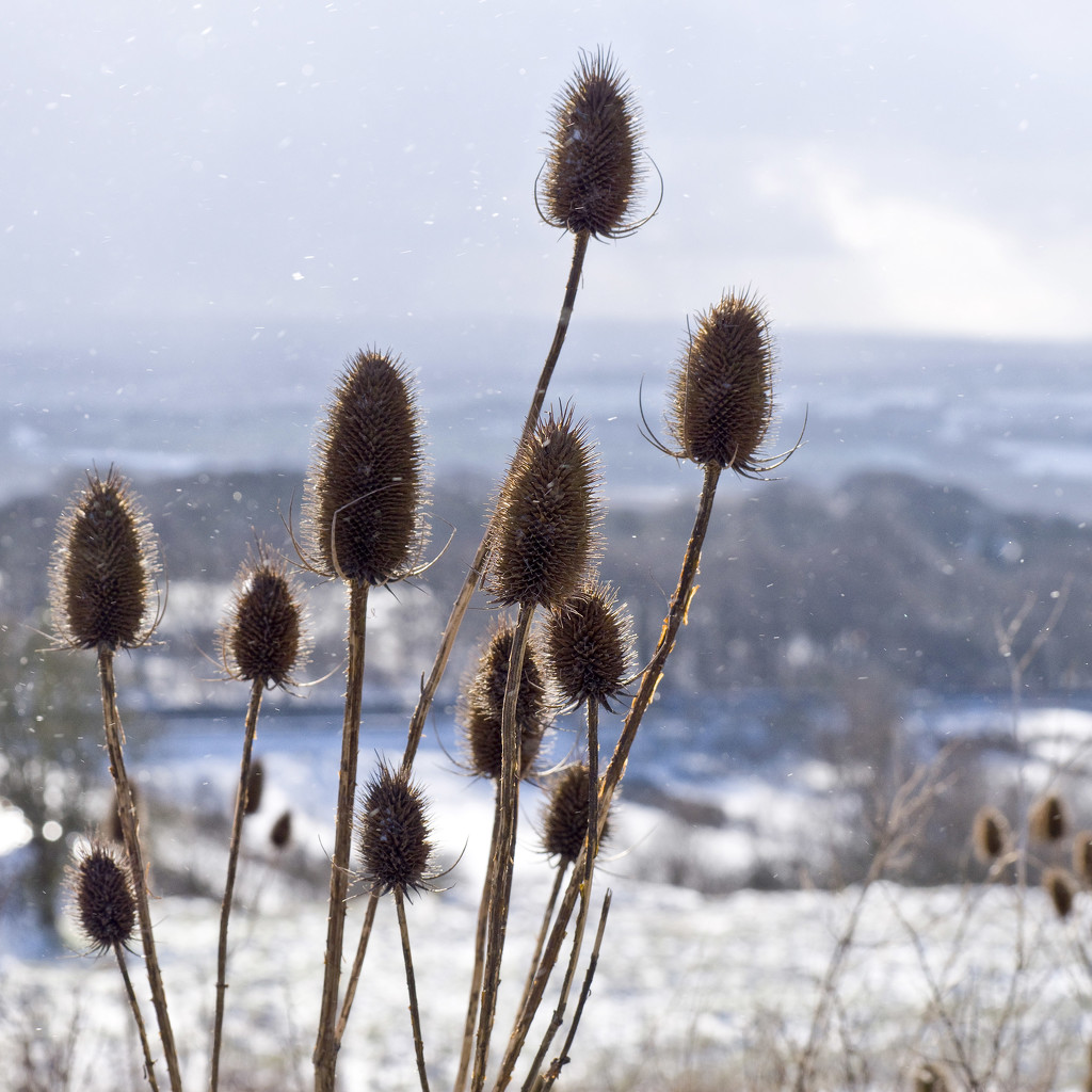 Wild Teasels. by gamelee