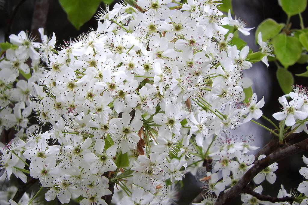 Bradford Pear blossoms by homeschoolmom