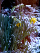 26th Feb 2018 - Daffodils in the snow