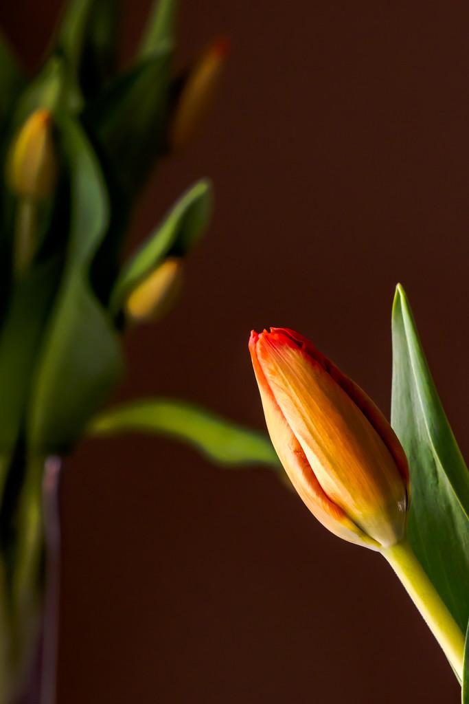 tulip 2 by jernst1779