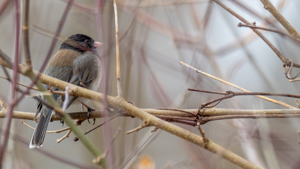 Junco in a thicket wide by rminer