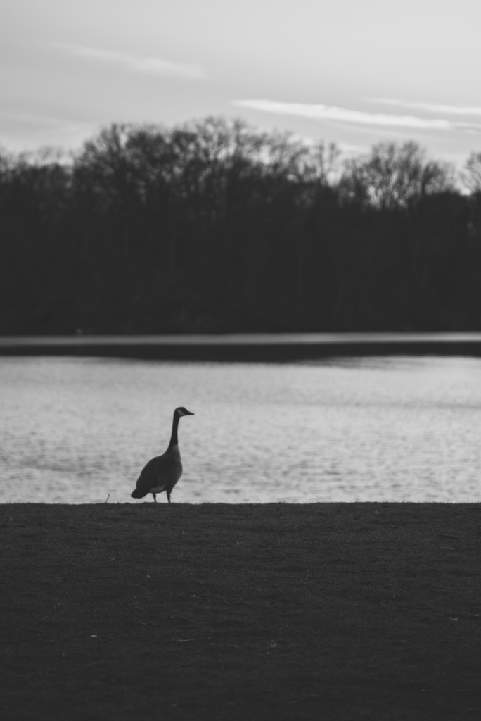 Canada goose at sunset by jackies365