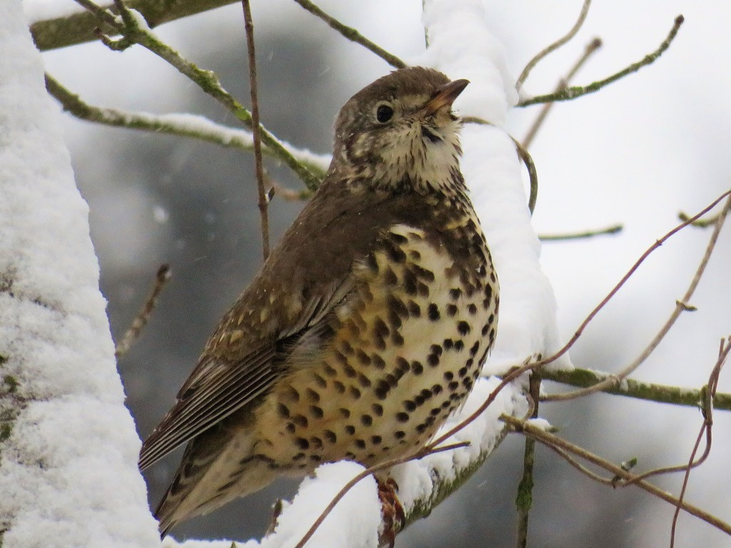 Snow Thrush by carole_sandford