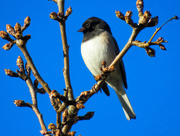 28th Feb 2018 - Junco