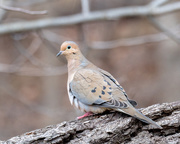 28th Feb 2018 - Mourning Dove