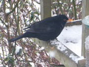 28th Feb 2018 - This blackbird was enjoying a left over teacake ....