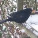 This blackbird was enjoying a left over teacake .... by snowy