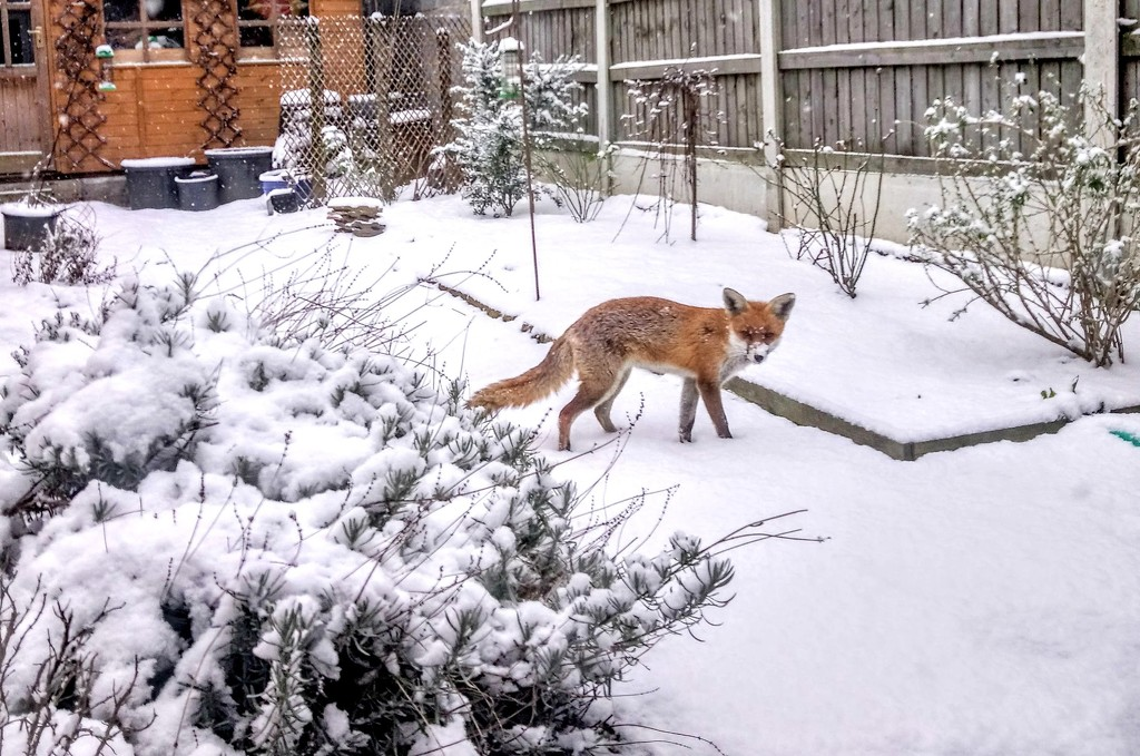 Foxy in the snow by boxplayer