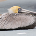 Mrs Pelican Taking a Break! by rickster549
