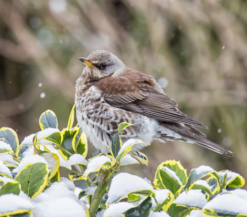 ID please -  A Fieldfare I think by pamknowler
