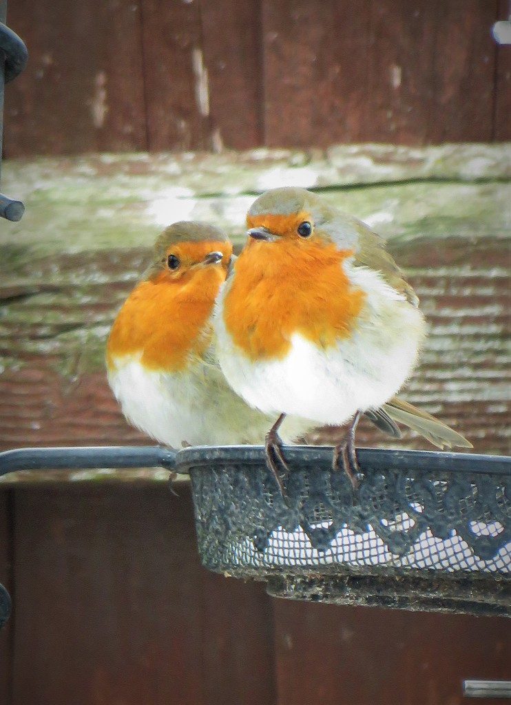 Robin Pair by phil_sandford