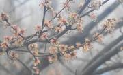 1st Mar 2018 - Raindrops on blossoms