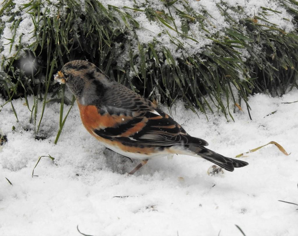 A Brambling!!  In my Garden!! by susiemc