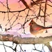 Mrs Cardinal In The Morning by lynnz