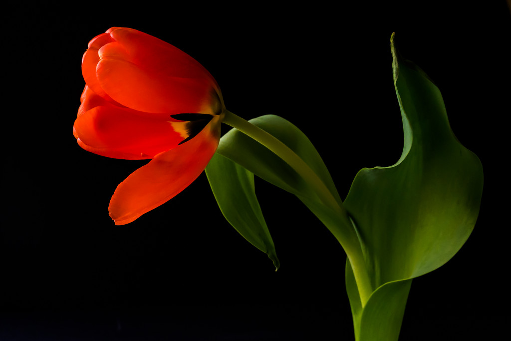 tulip old by jernst1779