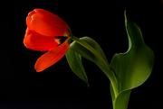 1st Mar 2018 - tulip old