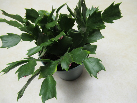 My Christmas cactus has finished blooming  by bruni