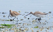 2nd Mar 2018 - Eastern bar tailed godwit - leave my worm alone!
