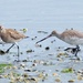 Eastern bar tailed godwit - leave my worm alone! by maureenpp