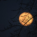 Moon Branches by kareenking