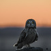 Short-Eared Owl at Sunset by kareenking