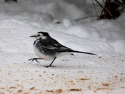 2nd Mar 2018 - Pied Wagtail
