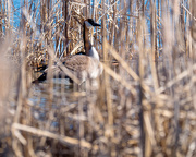 2nd Mar 2018 - Canadian Goose in the Tall Grass