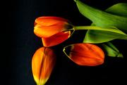 2nd Mar 2018 - tulip petals