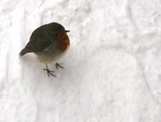 28th Feb 2018 - Fluffy little robin