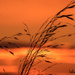 Sunrise Grasses  by radiogirl