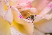 3rd Mar 2018 - Autumn rose and honey bee
